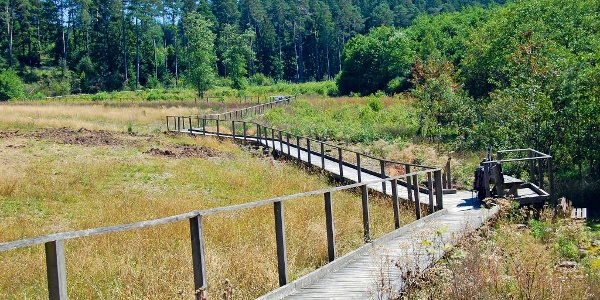 Die Wanderung  im Heidemoor bei Dahlem führt zum Teil über Holzstege