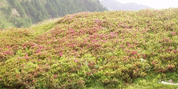 Alpenrosen unterhalb der Capanna Motterascio
