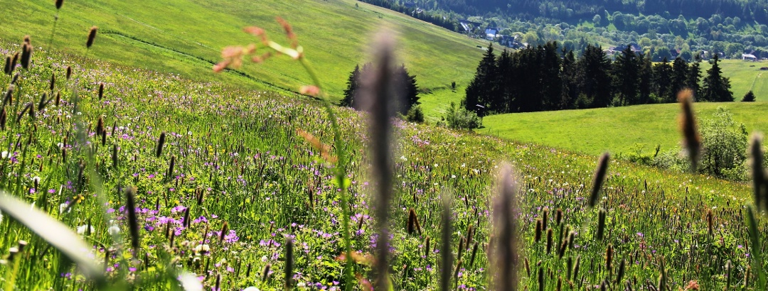 Bergwiese in Oberwiesenthal