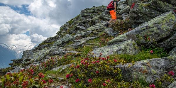 Ab der Gamshütte führt der Steig durch den Alpenrosen-reichen Hang.