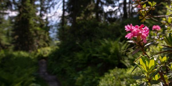 Alpenrosen begleiten den oberen Teil des Weges
