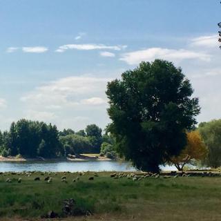 Schafherde am Rhein