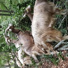 Trecking con le capre