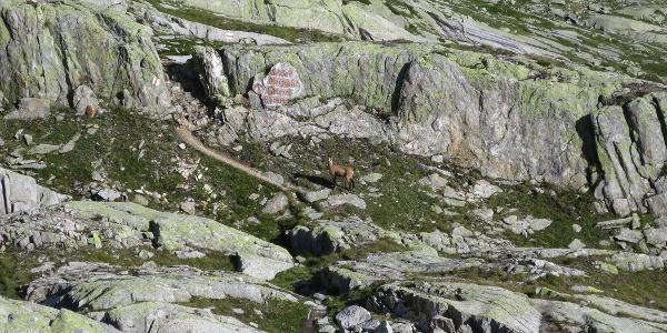Auch Gämsen lieben das Hochgebirge.
