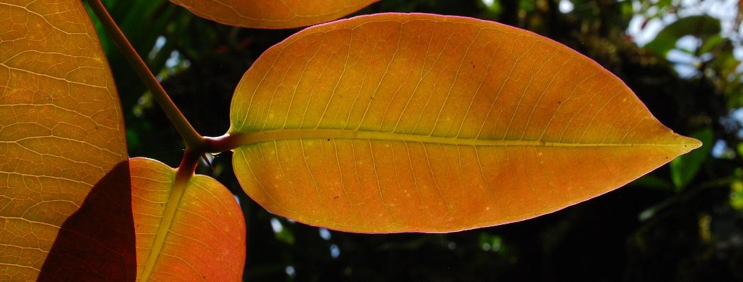 Rot-braune Blätter des Kapuzinerbaumes (Northia hornei)