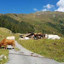 Kühe auf dem Pfad