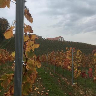 Weingarten mit Blick auf Taggenbrunn