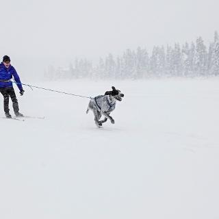 Dog skiing is allowed in Kuontivaara trail, Ruka Ski Resort