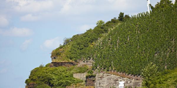 Großer Herrgott Wintrich - hoch über der Mosel