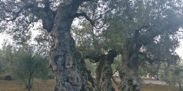 "Bovara - ""Olivo di Sant'Emiliano"" ca.2300 Jahre alt"