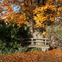 Alte Buche mit Herbstlaub westlich von Eggermühlen
