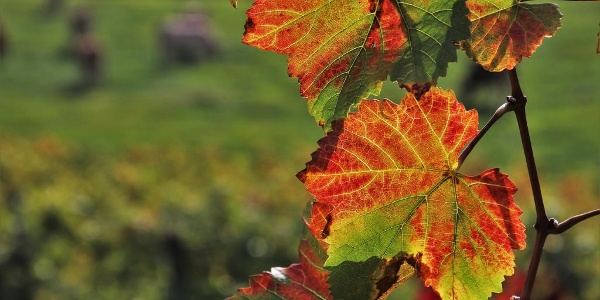 Weinbergblätter im Herbst