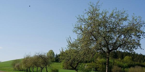 Wanderweg entlang der Apfelbaumreihe nach Oberwachsenberg