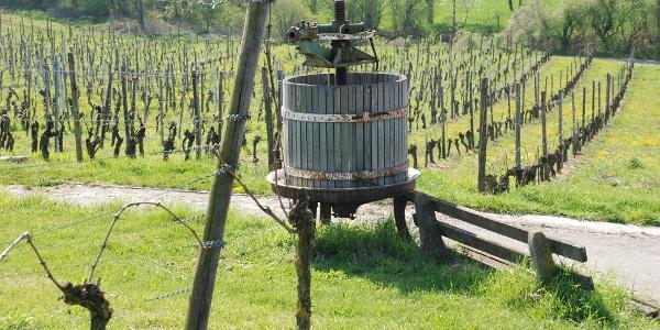 Weinreben bei Kraichtal-Oberöwisheim