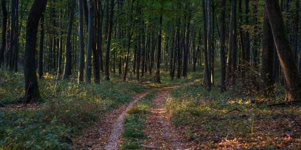 A farkasgyepűi kísérleti erdőben