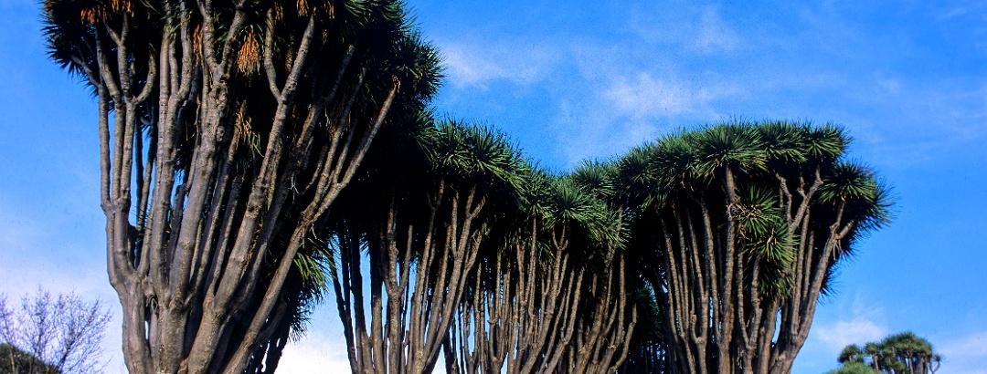 Drachenbäume auf La Palma