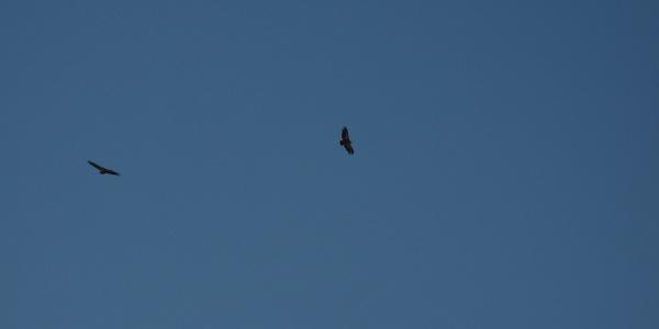 Griffon vultures above Mt. Stol