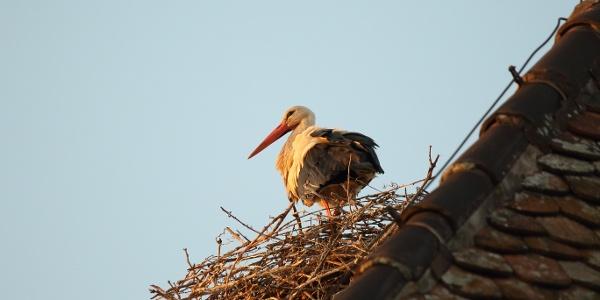 Storch auf dem Rathausdach