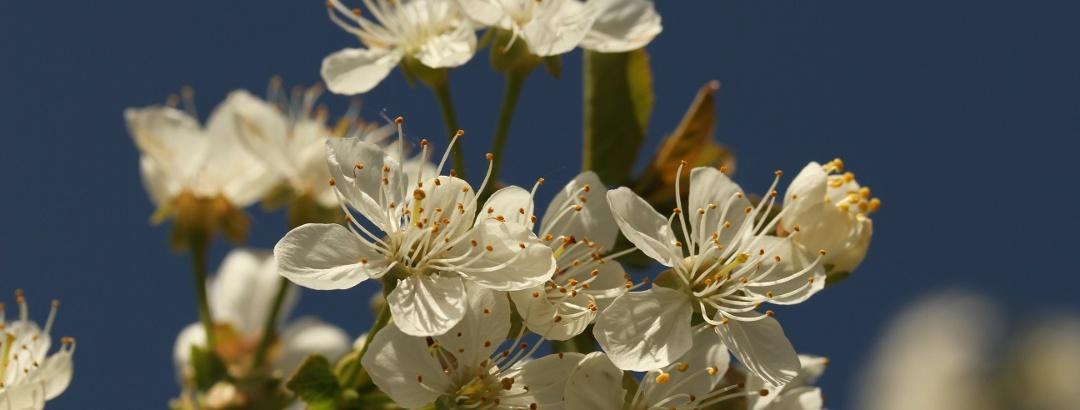 Kirschblüten im Schwarzwald