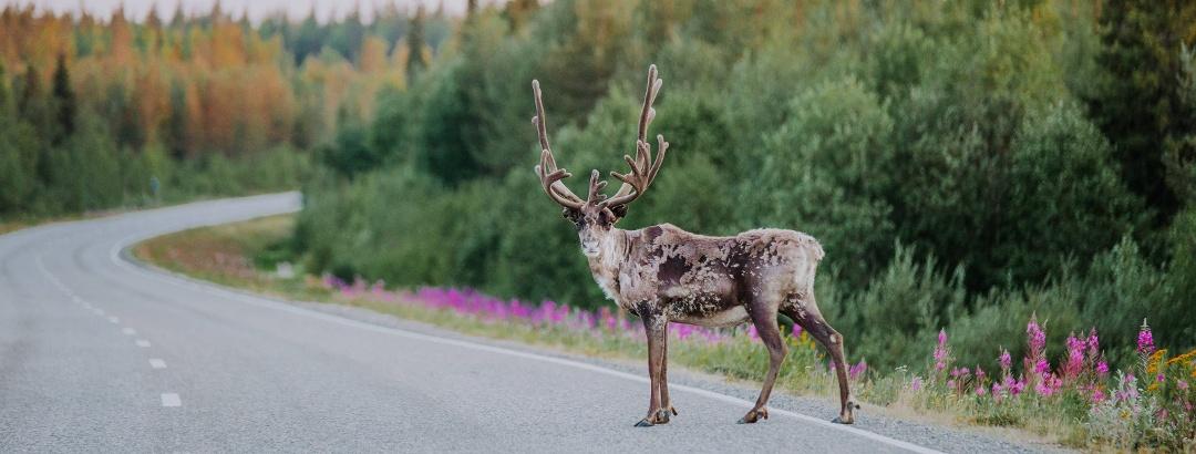 Rentier in Lappland