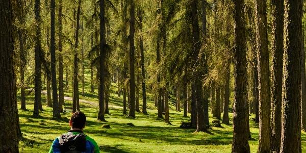 Der lichte Lärchenwald ist besonders im Herbst eine farbige Pracht von Grün und Gold
