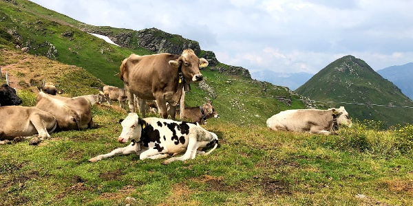 Kühe beim Leist.