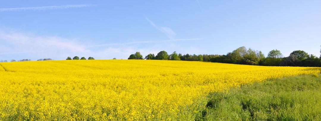 Rapsblüte in der Wilden Heimat  - der Solling-Vogler-Region im Weserbergland