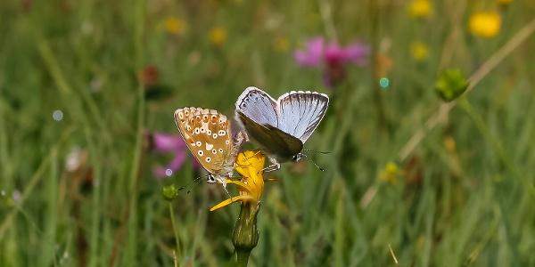 Der hübsch anzusehende Silbergrüne Bläuling (Lysandra coridon) ist auf der Hütteneckalm während der Flugzeit von Juni bis August ein häufiger Anblick.