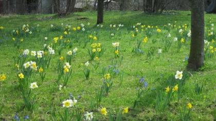 Narzissenblüte in Gönningen