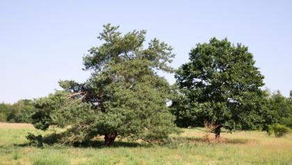 Trockenwiese mit Solitärbäumen