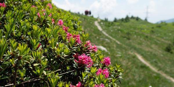 Alpenrosen am Monscerapass