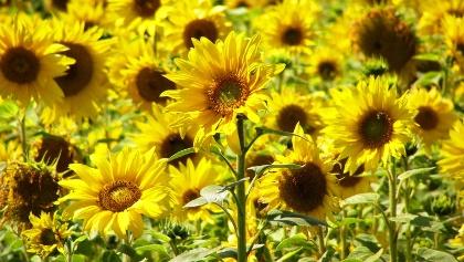 Sonnenblumen beim Abstieg nach St. Alban