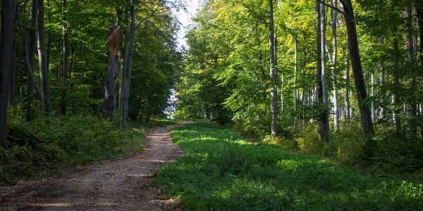 A Király-kúti-erdő bükkösében