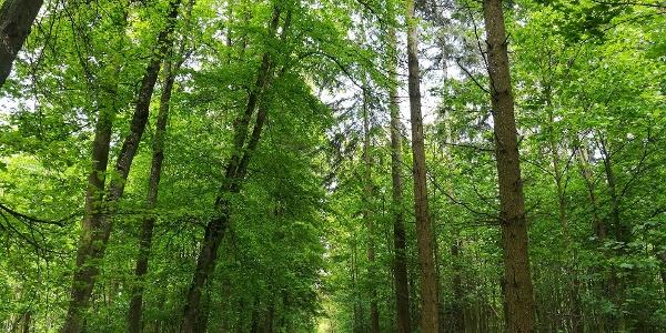 Der Eichwald