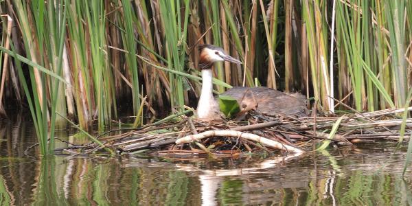 Haubentaucher auf seinem Nest