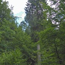 Die Ruwerfichte, stärkster Baum im Keller Wald