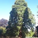 Mammutbaum auf der Rosenhöhe