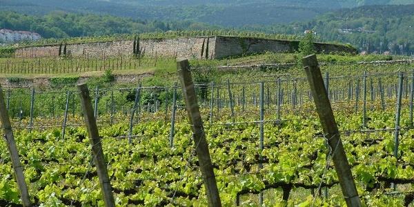Weinlandschaft Spielberg / Herrenberg