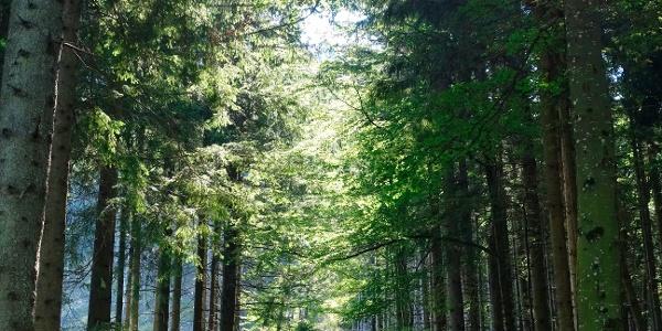 Waldweg hoch zum Falkenstein