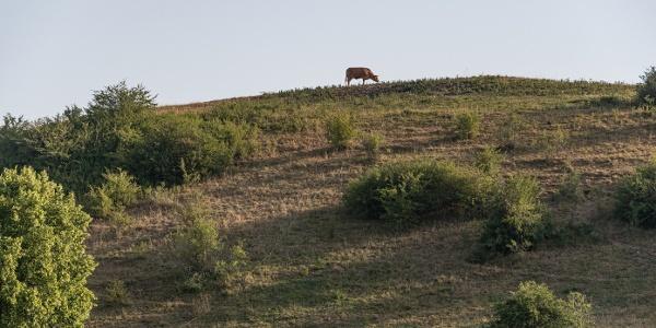 Kuh auf dem Berg