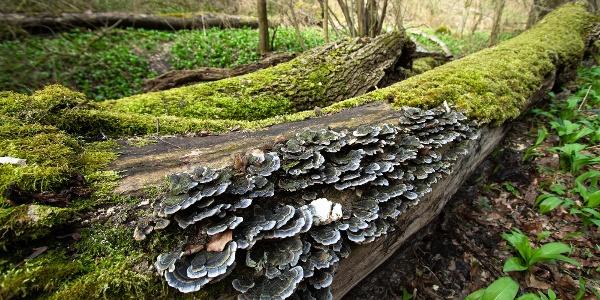 Taplógombák a Burok-völgy egy kidőlt fáján