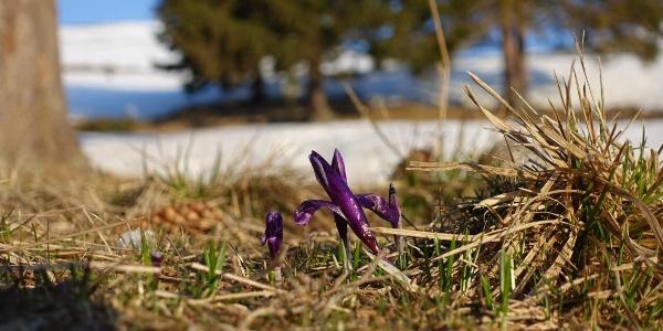 Erste Frühlingsboten im April am Zeltplatz bei der Cabana Canaia