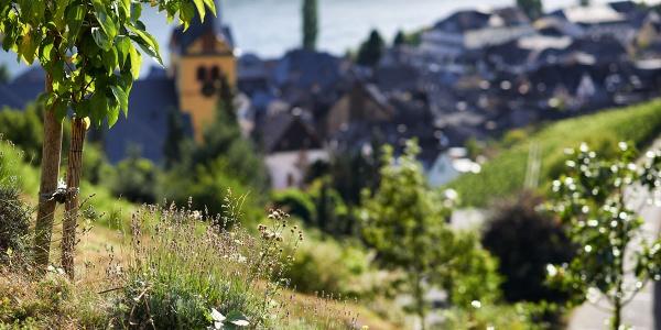 Sortengarten oberhalb von Bernkastel-Kues