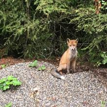 Junger Fuchs am Weg zur Sabathihütte