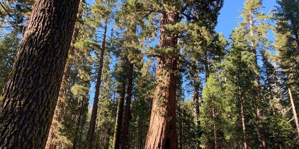 עץ סקוויה שניתן לעבור דרכו