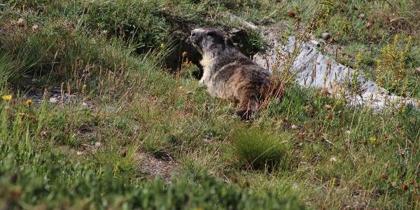 Marmots on the Riffelalp circular hike
