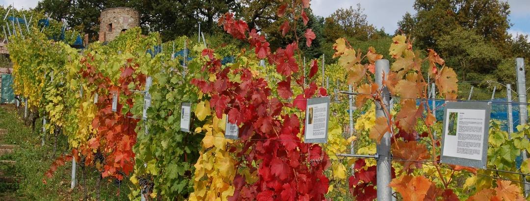 Weinböhla Ratsweinberg im Herbst
