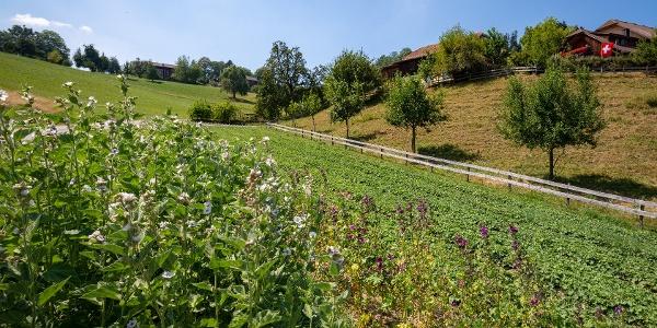 Kräuterfeld in Hergiswil bei Willisau
