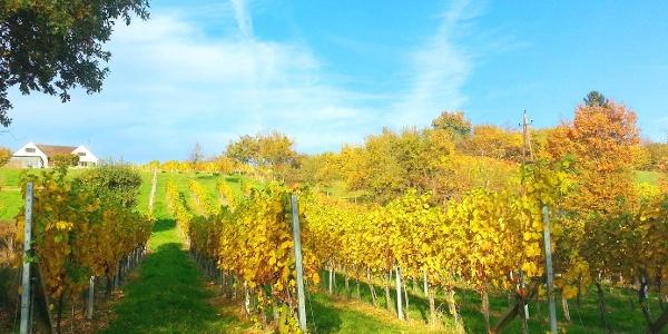 Herrliche Sonnenlage des Weingarten der Familie Postl - Buschenschank in Safenau © TV Hartbergerland, Martin Postl