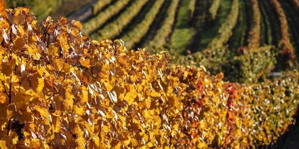 Weingärten im Herbst